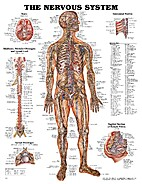 The Anatomy of the Nervous System by Stephen…