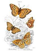 Butterflies. by James Duncan