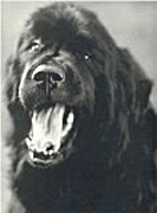 Gentle Giants: A Book of Newfoundlands by…