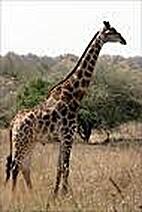 Giraffes : Naturebooks Series by Jenny…