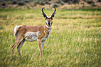 The Pronghorn of the West by Susan Blackaly