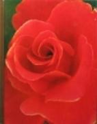 Roses by James Underwood Crockett